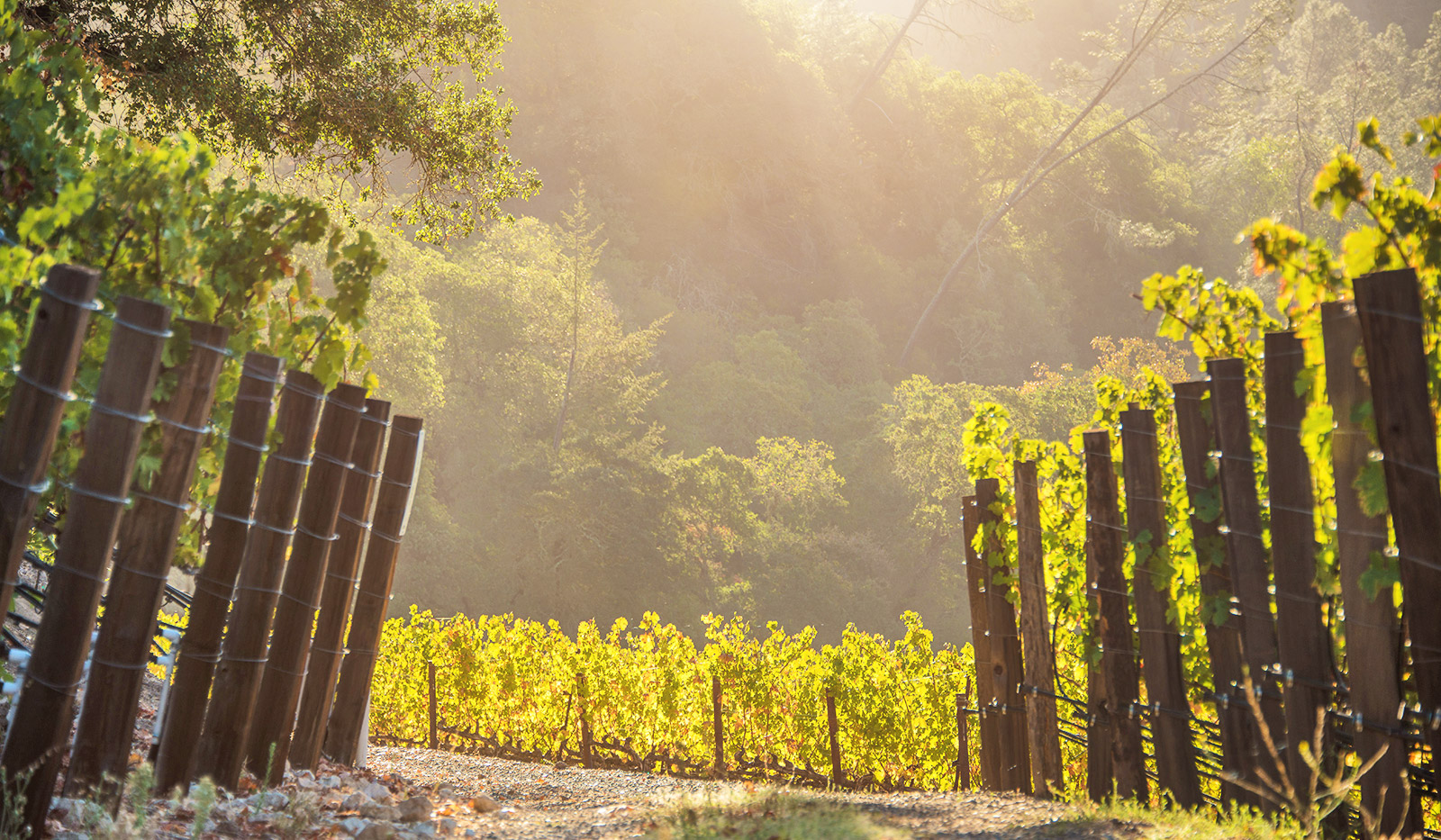 Vineyard Shot - Path